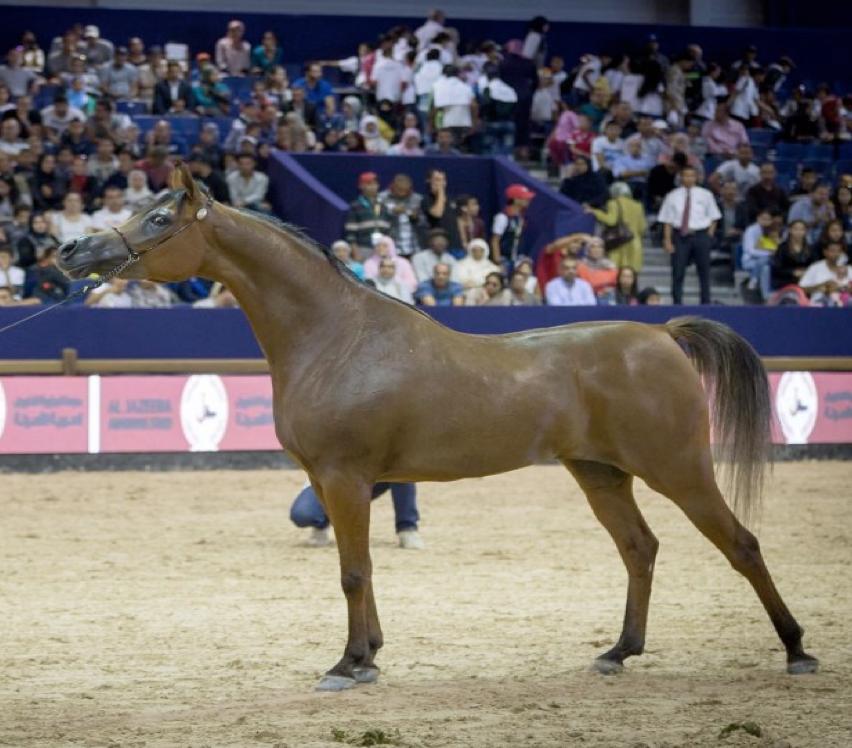 New Achievement for Athbah Stud at International Arabian Horse Show - انجاز  جديد لمربط عذبه في البطولة الدولية لجمال الخيل العربية الأصيلة - المغرب